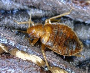 A bedbug