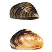 Zebra and Quagga Mussels